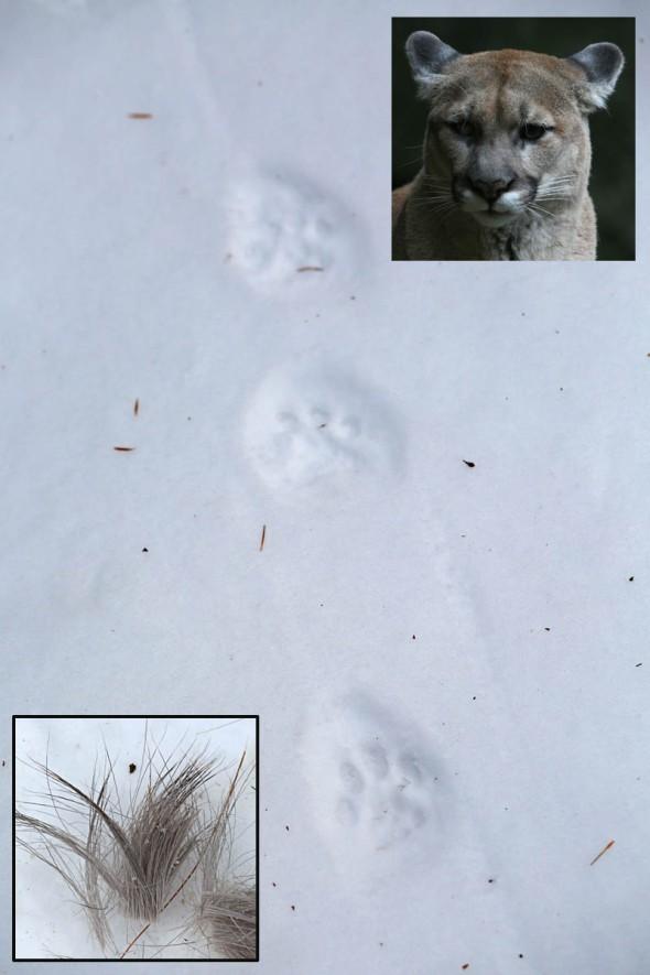 1-15-16  cougar tracks  022