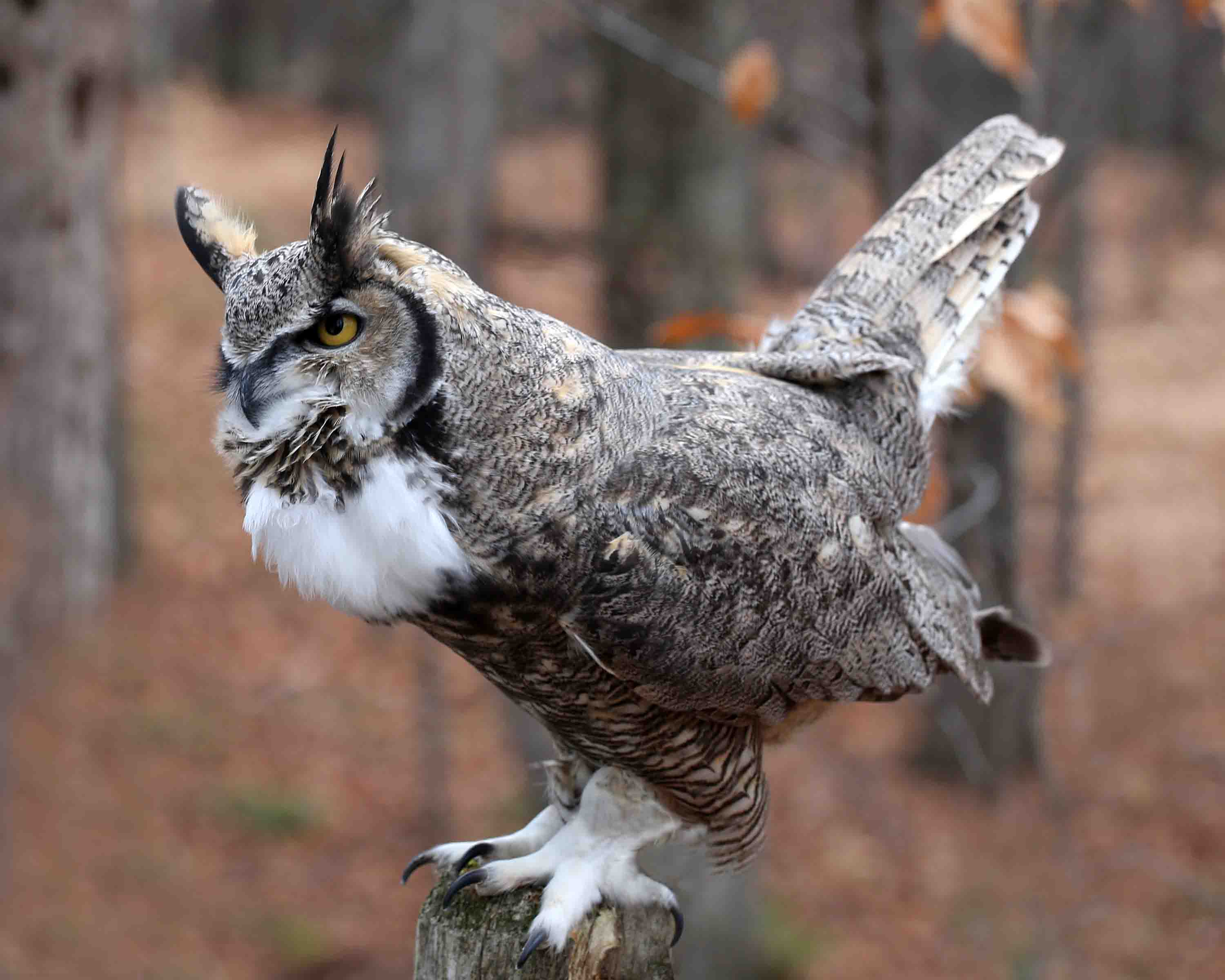 owls and great horned owl