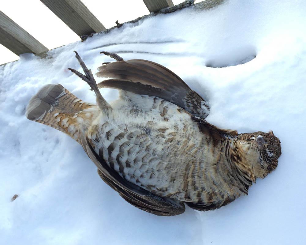 1-25-16 dead ruffed grouse by Eve Bernhard