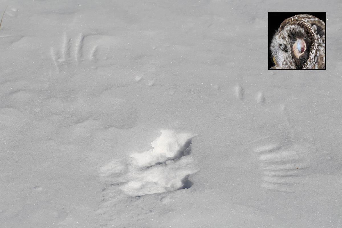 1-26-16  barred owl imprint  067