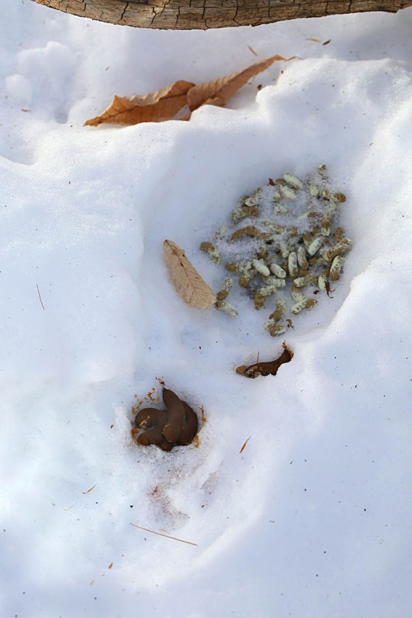 1-29-16 ruffed grouse bed 049
