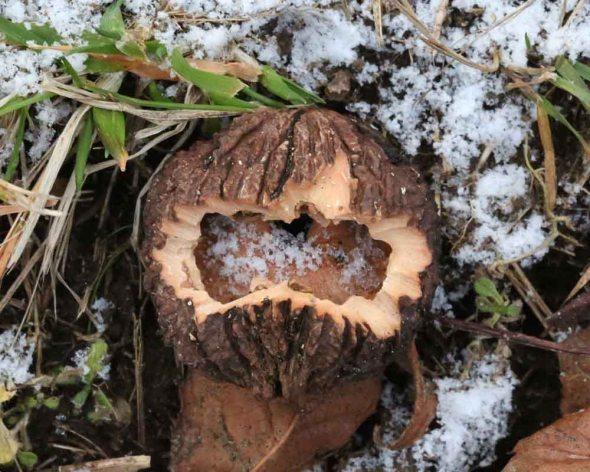 1-4-15 black walnut 145