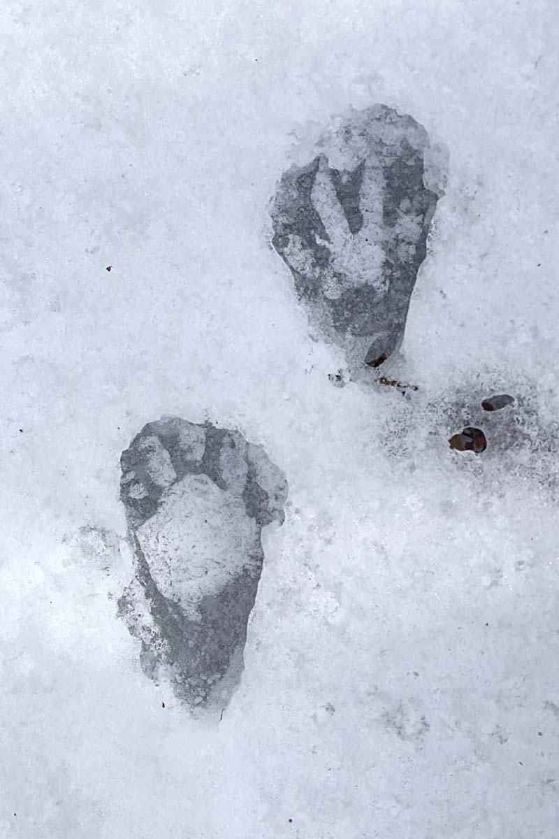 1-6-16 raccoon tracks 118