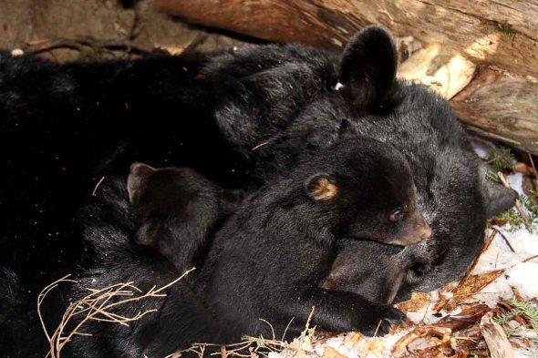 2-11-16  black bears IMG_0380
