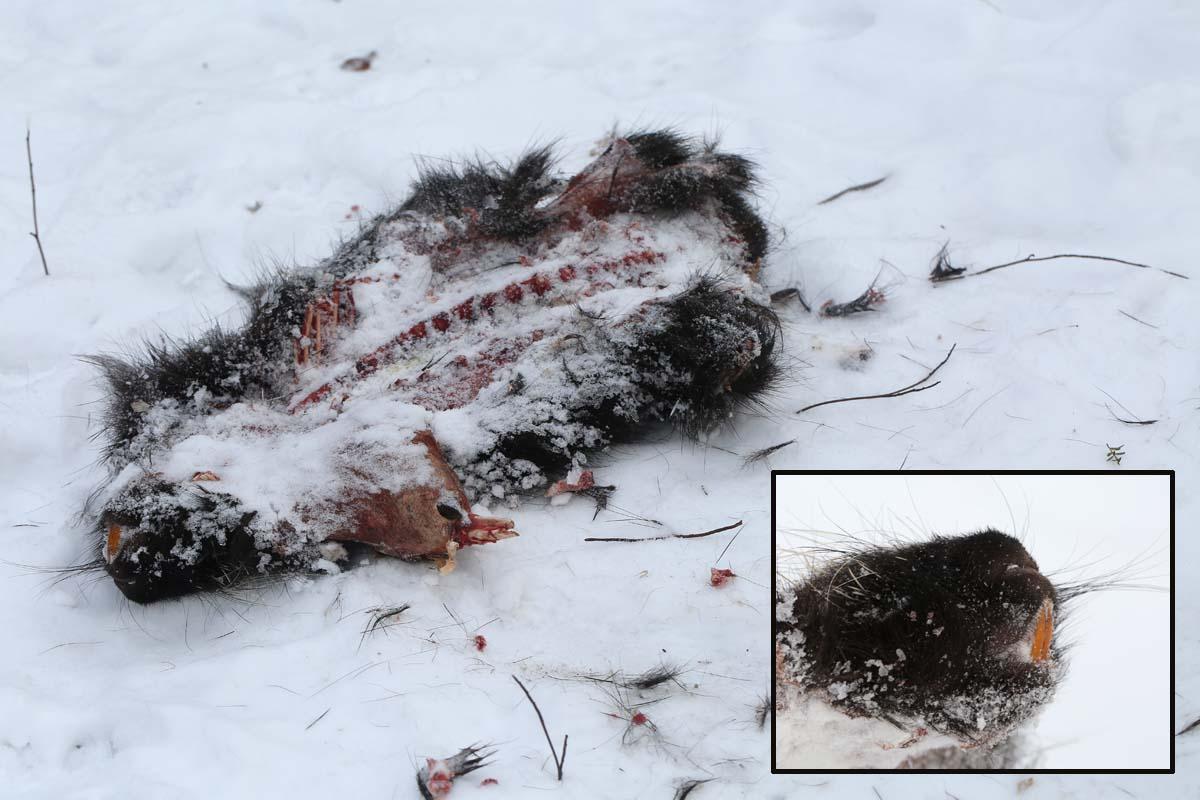 2-15-16 dead porcupine  086