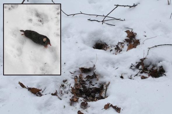 2-19-16  hairy-tailed mole2 155