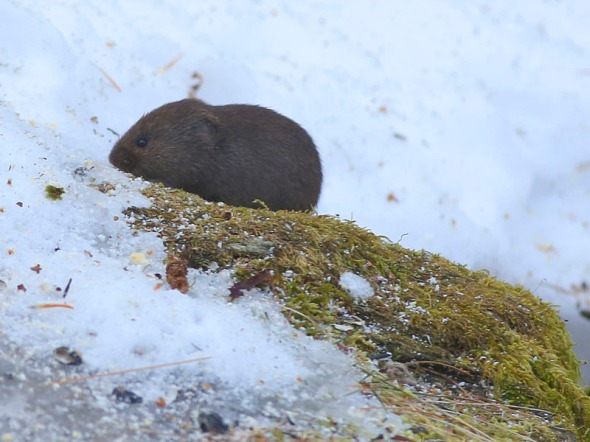 2-23-16  meadow vole 036