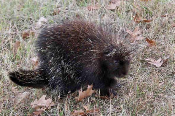 2-5-16 w's porcupine IMG_3938
