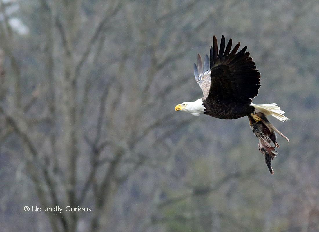 3-1-16 eagle3 036