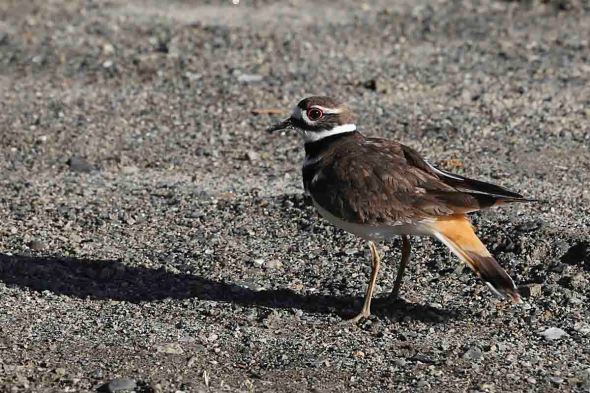 3-1-16 killdeer 062