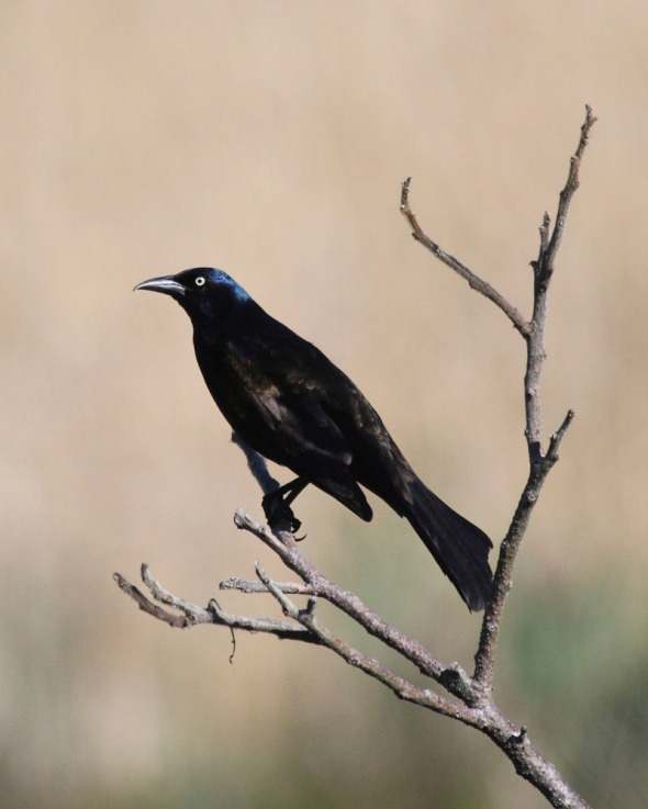 3-4-16  common grackle IMG_2436