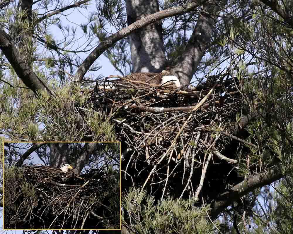 3-16-16 bald eagles turning eggs 094
