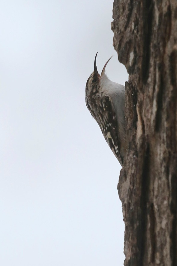 3-18-16 brown creeper singing034