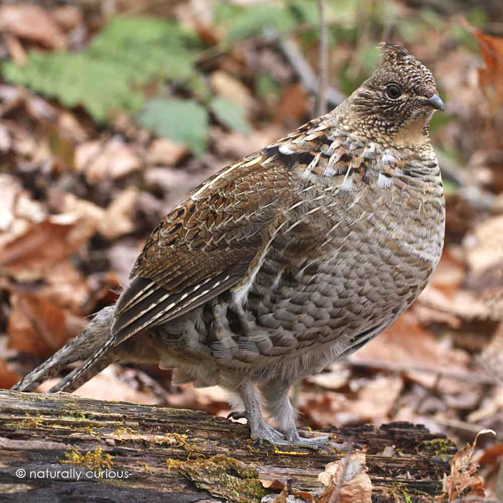 3-22-16 ruffed grouse IMG_0778