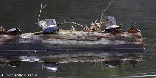 3-23-16 painted turtles 033