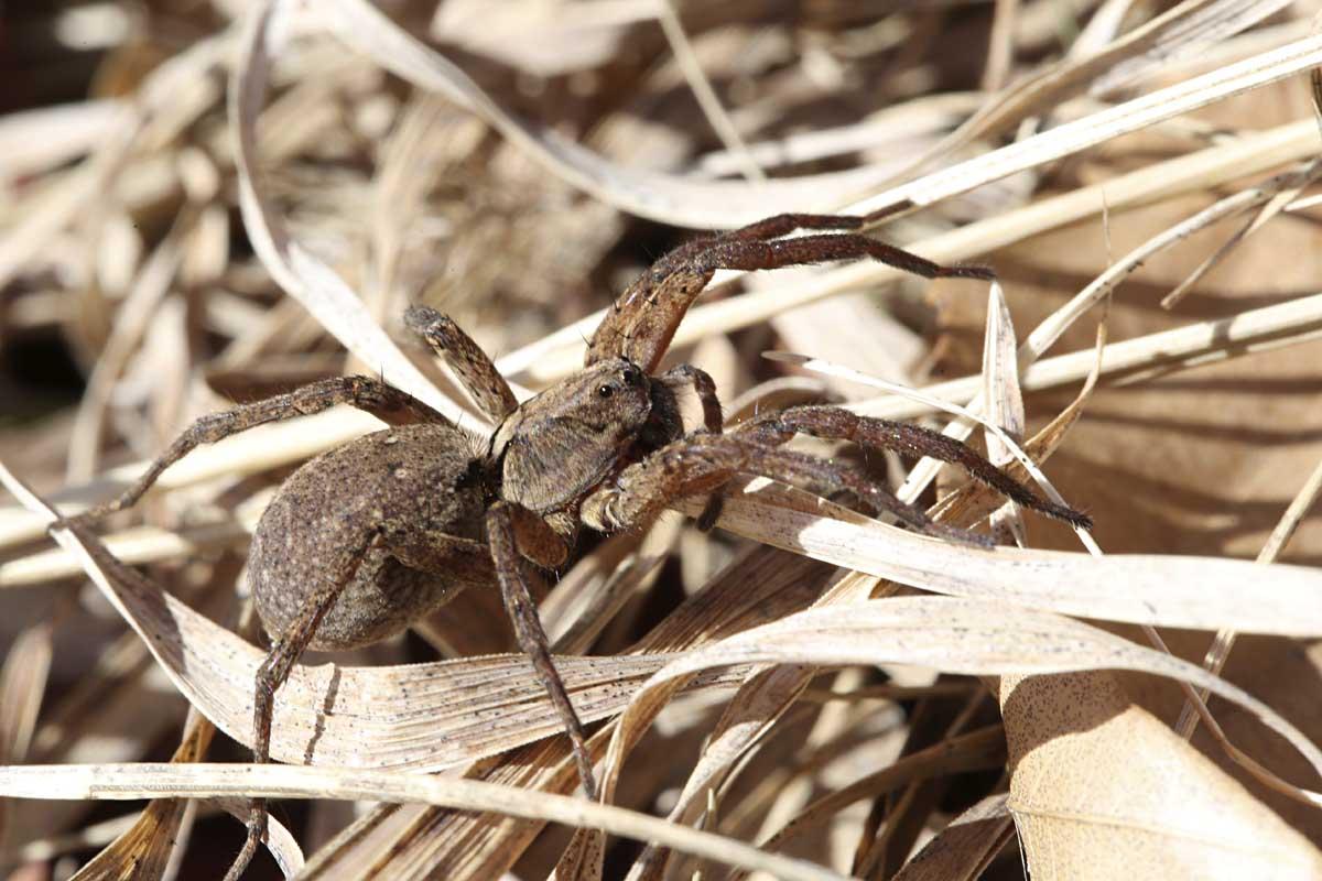 3-24-16 wolf spider in grass 168