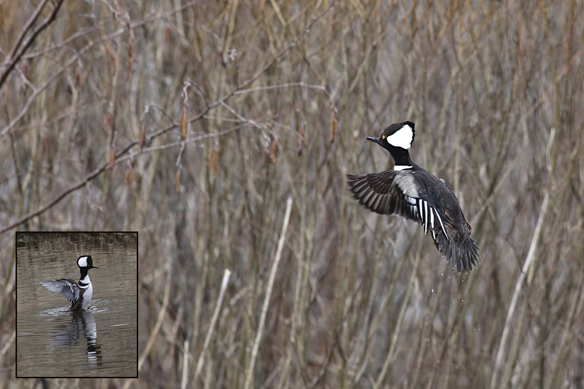 3-25-16  hooded merganser flying 243