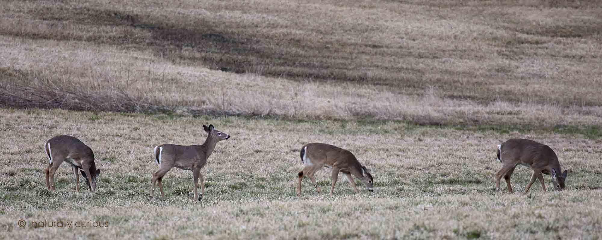 4-11-16  white-tailed deer 130