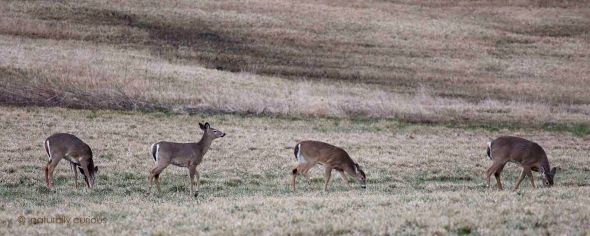 4-11-16  white-tailed deer 130