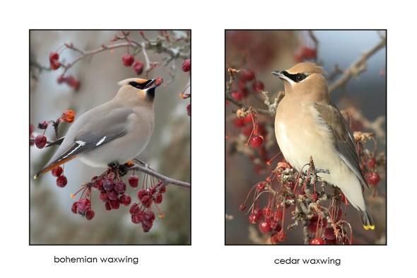 4-18-16bohemian vs. cedar waxwing