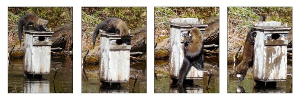 4-19-16 fisher & wood duck box by Alfred Balch