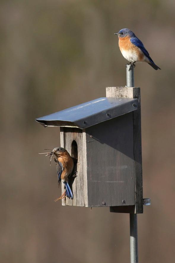 4-22-16  bluebirds nesting 239