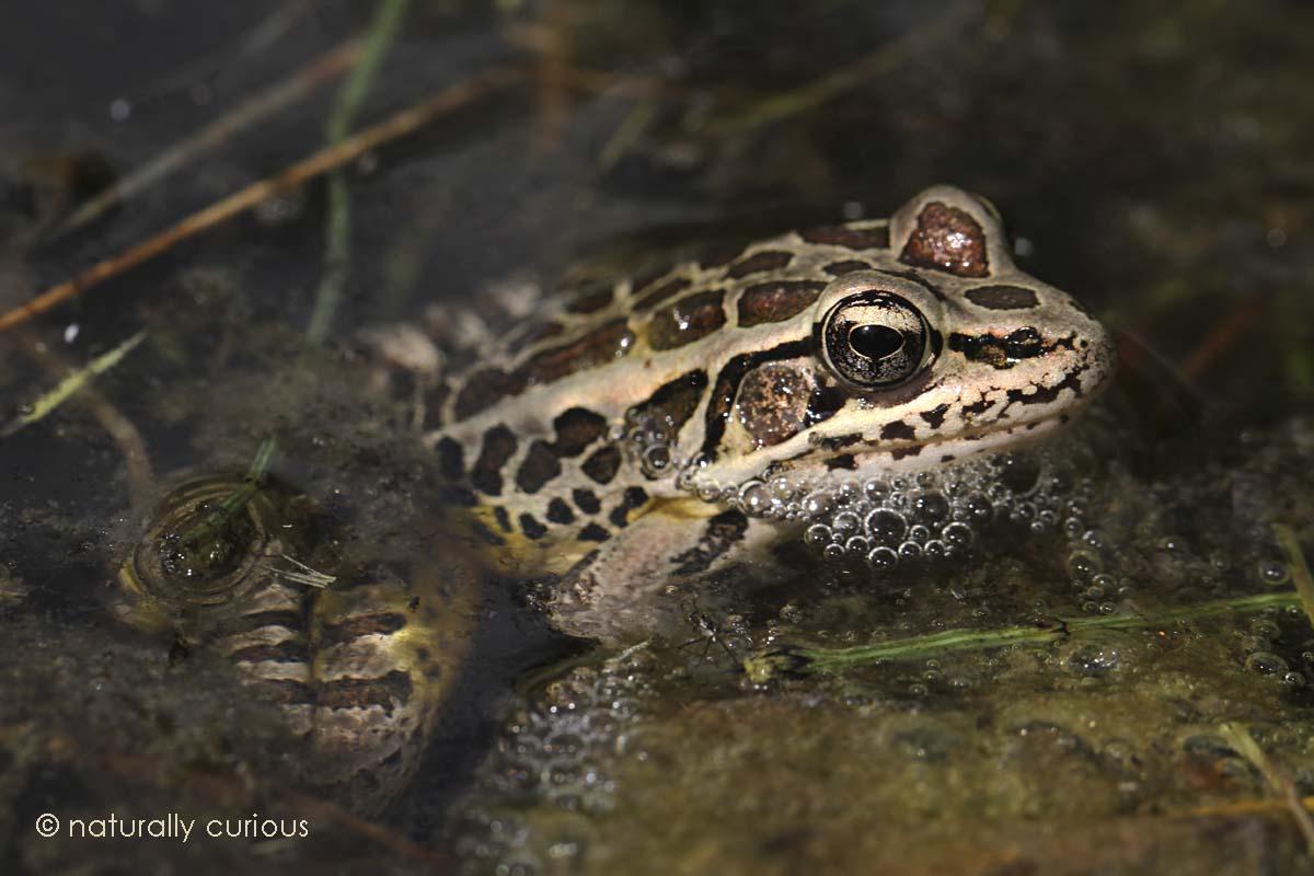 4-28-16  pickerel frog IMG_9429