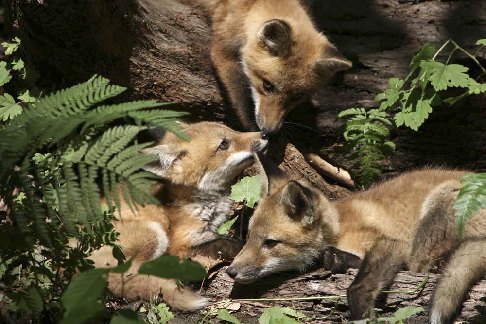 red fox kits  IMG_2123