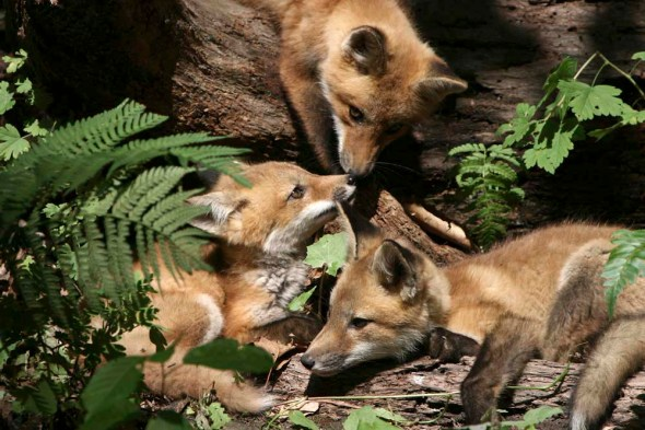 red fox kits  IMG_2123