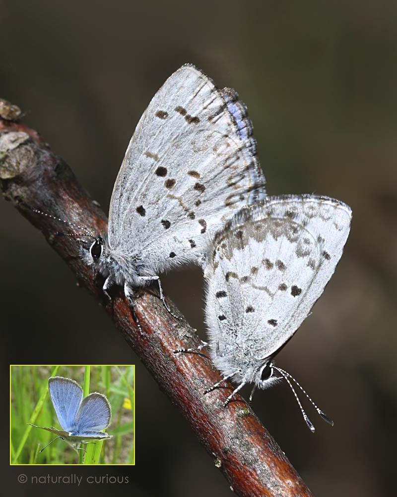 5-12-16  spring azures mating 074