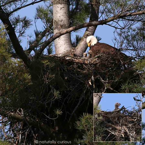 5-2 eagle and chicks 831