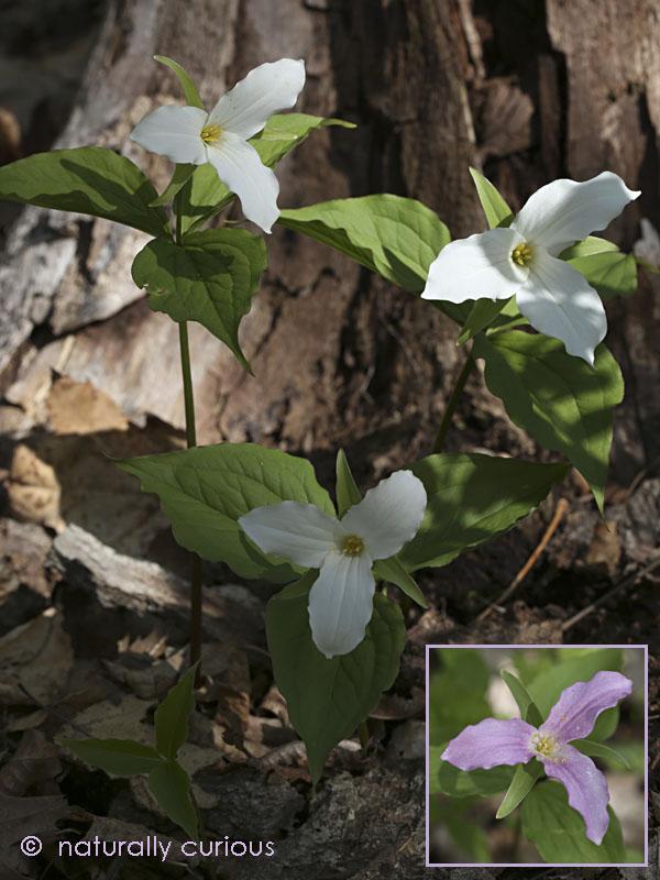 5-25-16  large-flowered trillium 100