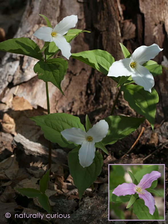 5-25-16  large-flowered trillium 100