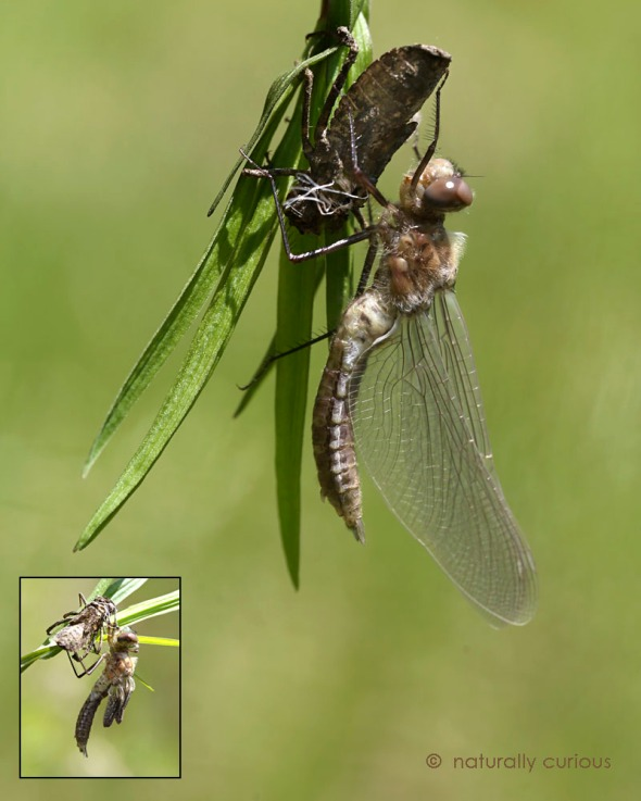 5-26-16  dragonfly eclosing2  347