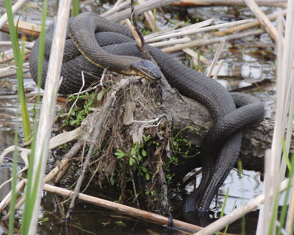 5-26-16  mating water snakes by Sue Elliott DSCN7482