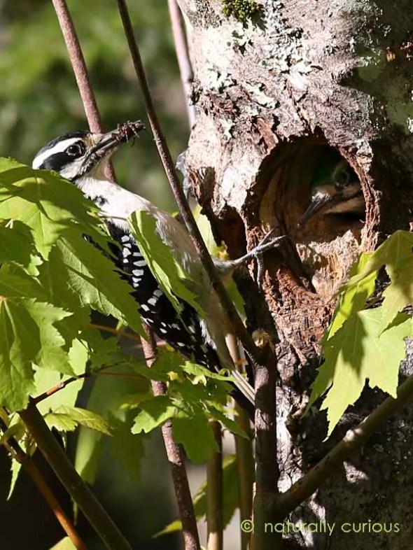 5-30-16 hairy woodpeckers  215