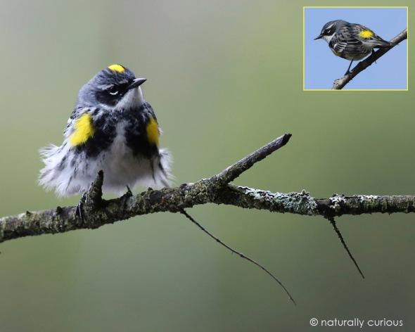5-6-16 yellow-rumped warbler 031