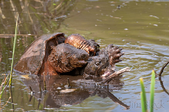 how to catch a snapping turtle