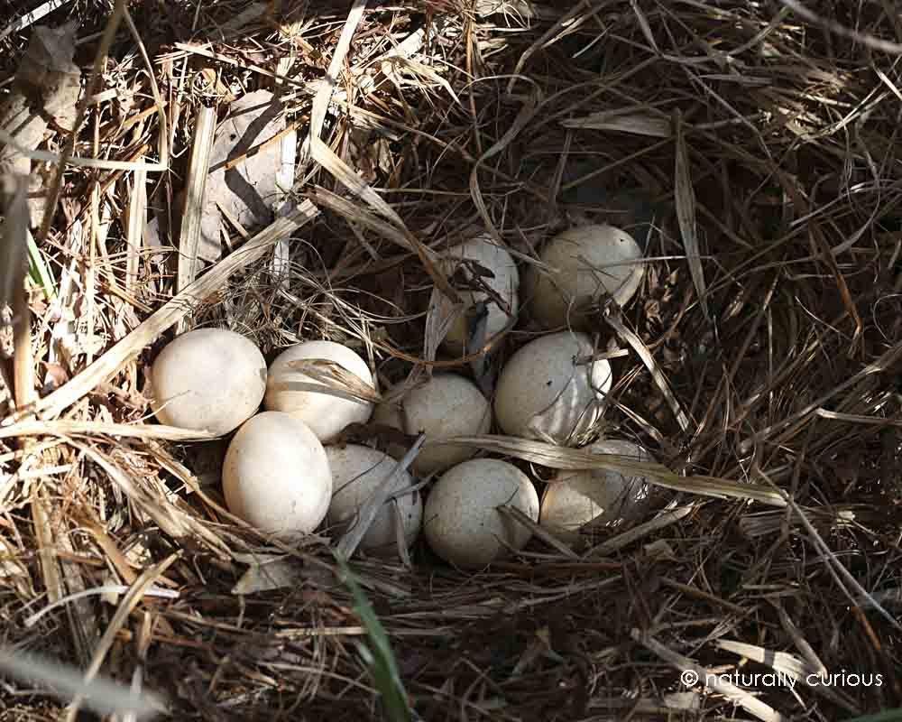 wild turkey nest 238