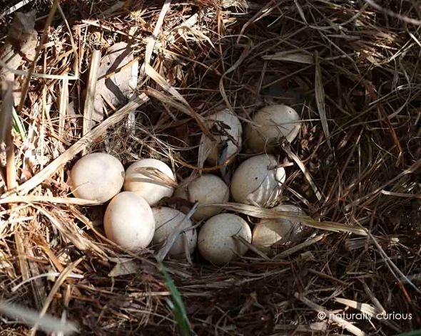 wild turkey nest 238