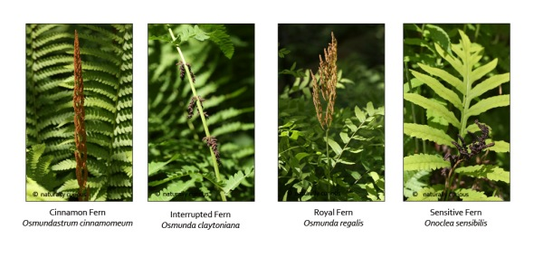6-23-16  FERTILE FRONDS - royal, interrupted, cinnamon, sensitive
