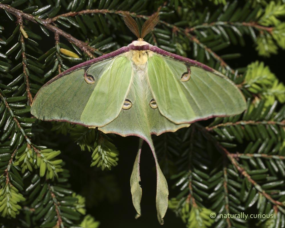 6-27-16  luna moth 002