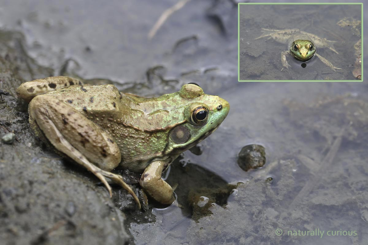 7-13-16  turquoise green frog 030