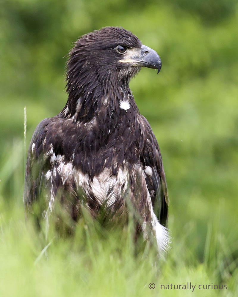 7-26-16  juv. bald eagle2 026
