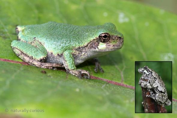 7-28-16 young gray treefrog2 IMG_5078