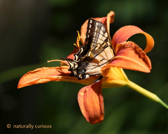 7-29-16  swallowtail in lily 086