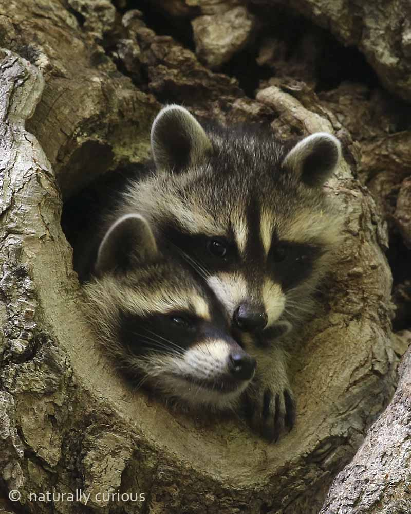 7-7-16  young raccoons 490