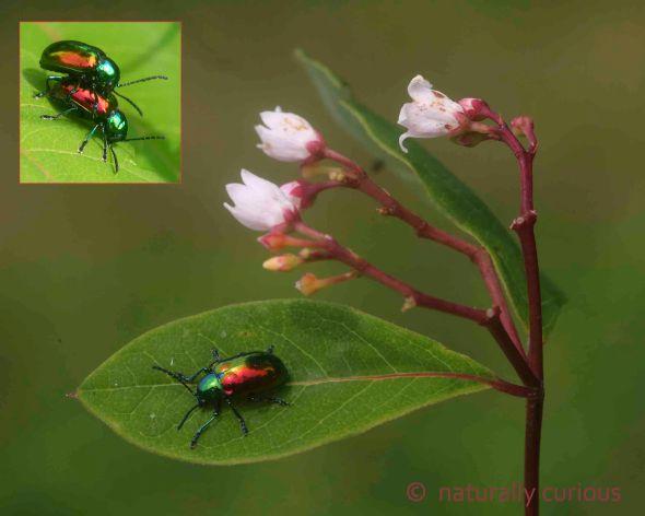 7-8-16  dogbane beetle 283