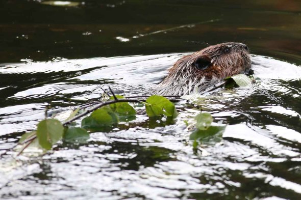 beaver hauling food to lodge 245