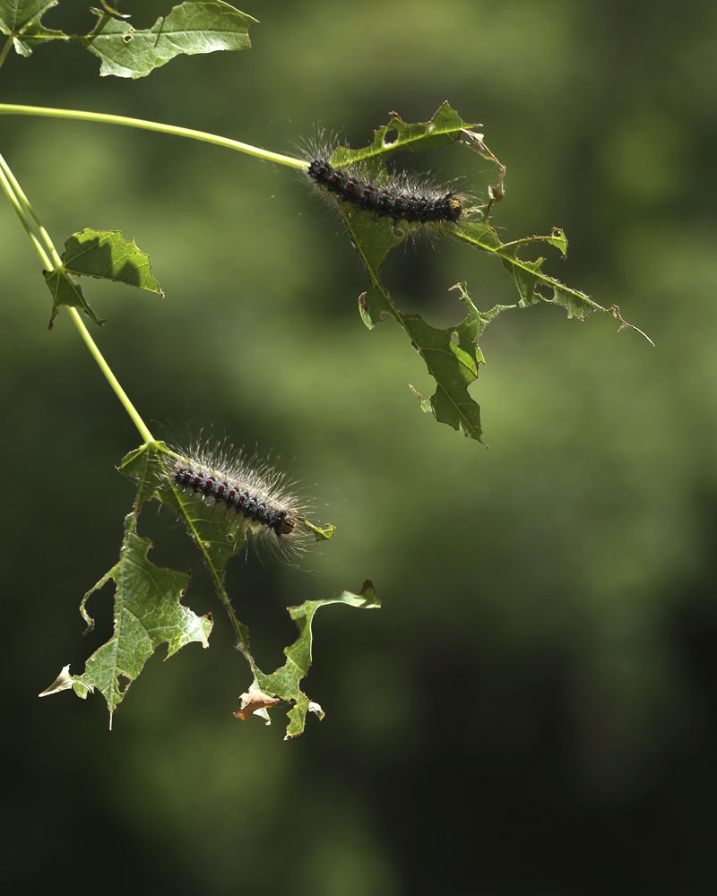 e-gypsy moth caterpillars 273